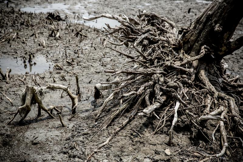 The roots of the tree in a forest. Sundorbon, blackwhite royalty free stock images