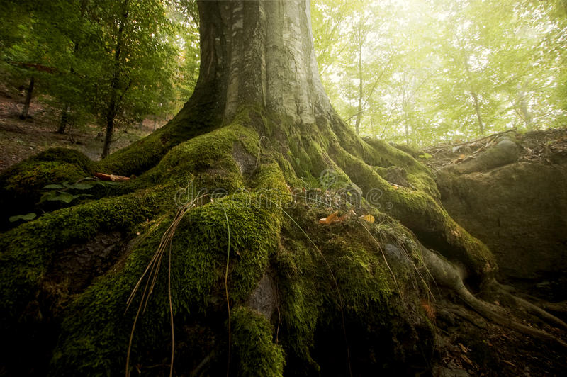 Roots of tree with green moss and sun shining in a forest in summer. Roots of tree with green moss and sun shining in a green forest in summer stock photo