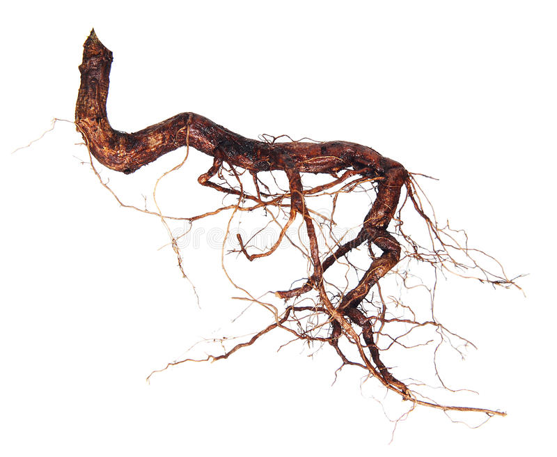 Roots tree isolated royalty free stock photography