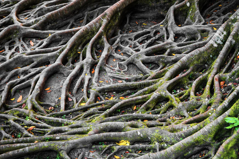 Roots of a tree royalty free stock photo