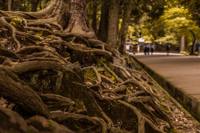 The roots of a tree with a blurry background in green tones. Roots of a tree old and deep in the ground, admired by everyone royalty free stock image