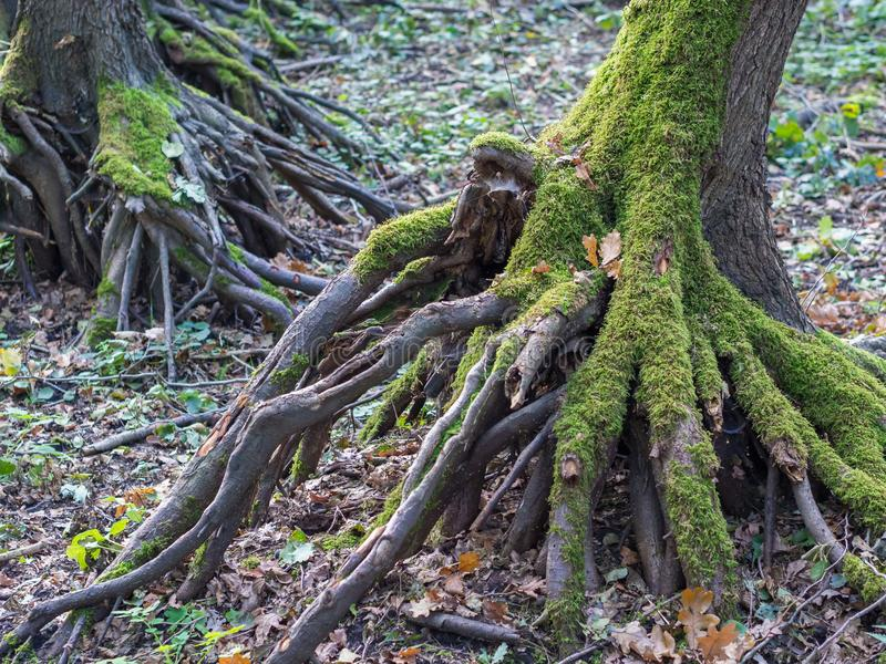 Roots of tree overgrown with moss during autumn in German forest.  royalty free stock images
