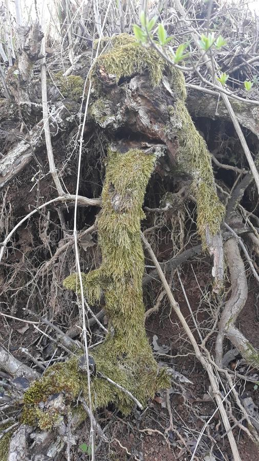 Roots of tree. Picture of roots of tree royalty free stock photos