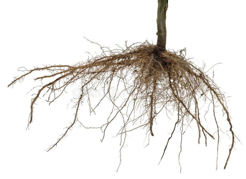 Roots of tree or plant isolated royalty free stock images