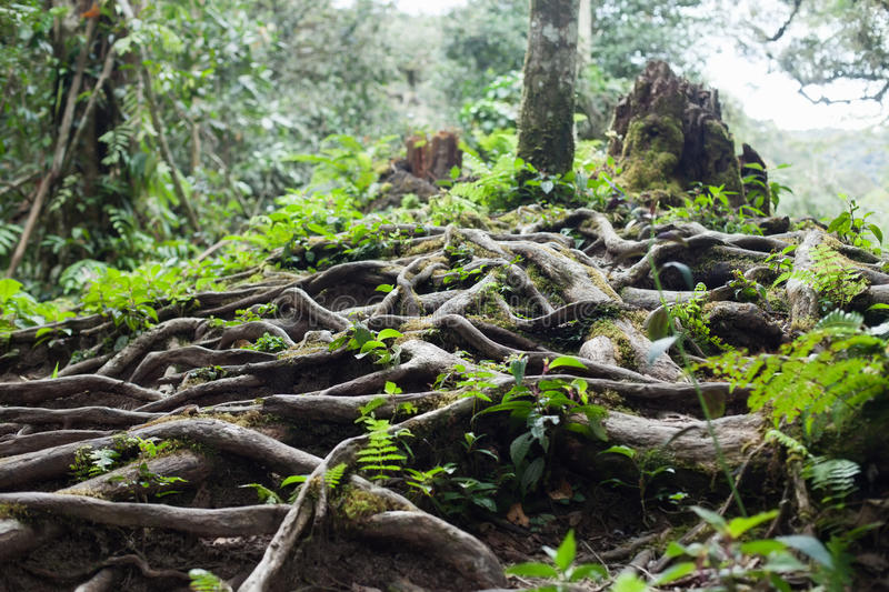 Roots of tree. In the rainforest royalty free stock photos