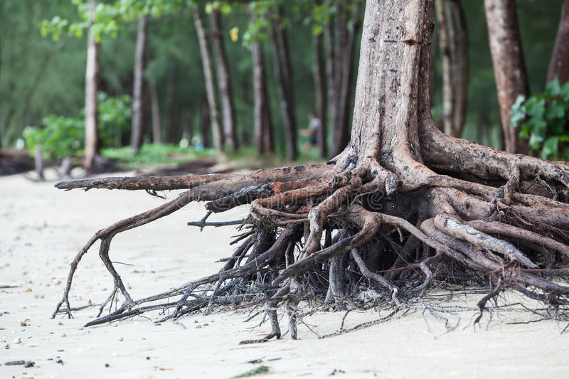 Roots of tree standing dead because erode by seawater. On the beach stock photo