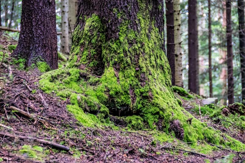 Roots and tree trunk close-up. Moss covered roots and tree bark in the forest. Dovbush rocks climbing area in Yaremche, Ukraine royalty free stock photos