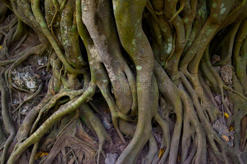 Roots of tree. Twined gaint roots of tree, Cambodia royalty free stock images