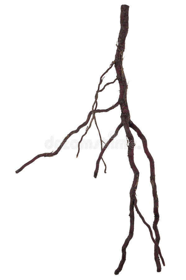 Roots tree. On white background stock photography
