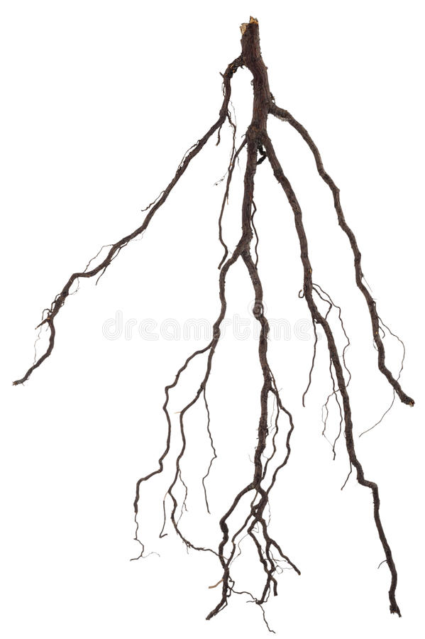 Roots tree. On white background royalty free stock photography