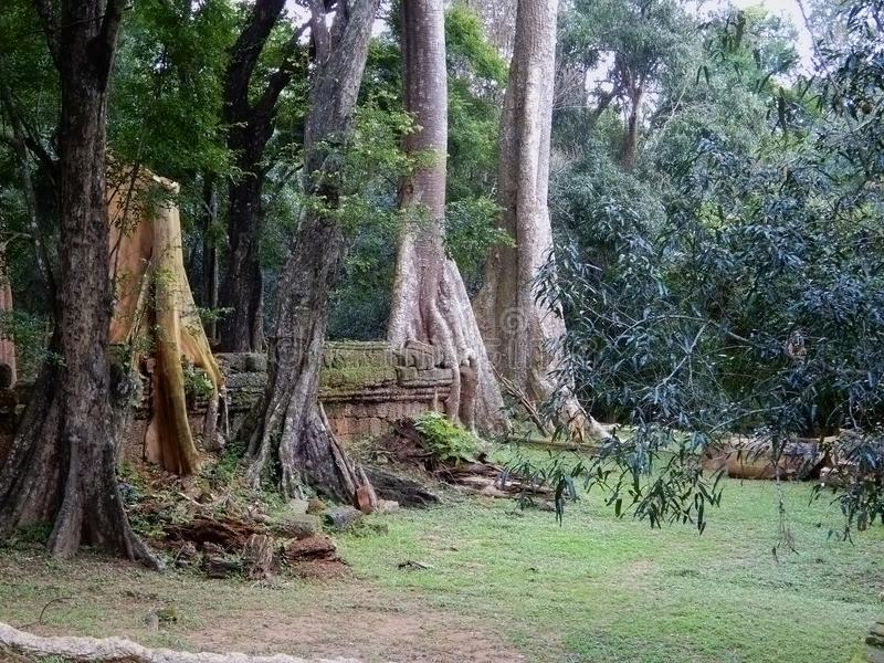 Ancient giant trees growing in amongst temple buildings. Roots of trees in the Angkor Wat complex have extended, like tentacles through the soil and in the stock photography