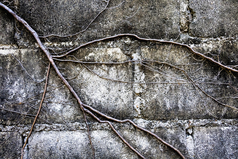 The roots of the trees covered brick wall. stock photography