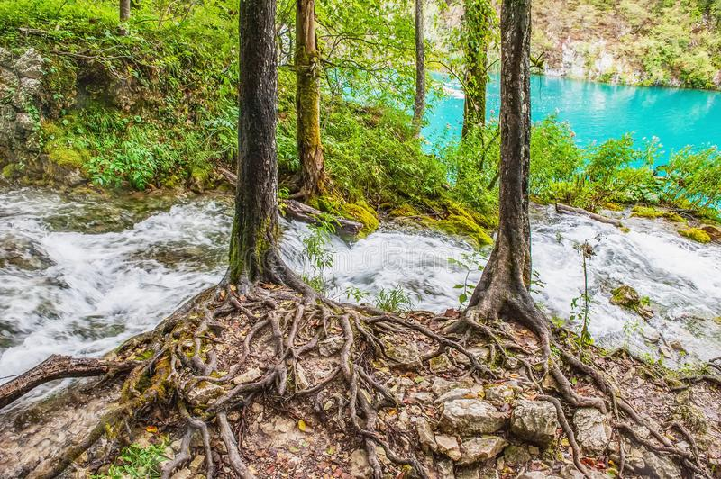 The roots of two trees on the shore of one of the most amazing Plitvice Lakes, Croatia. A truly ecological piece of nature royalty free stock photo