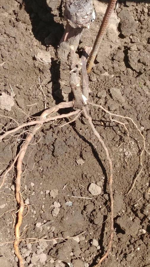 Rootstocken behöver vara att klippa från vinranka royaltyfria foton