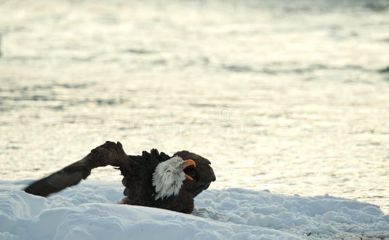 Ropa skallig örn på snow. royaltyfria foton