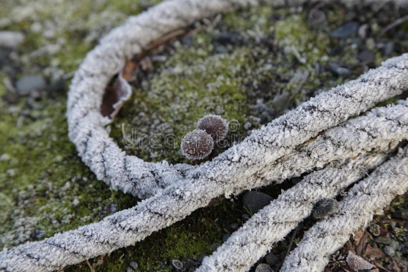 Rope and mushrooms with frost. Old rope laying on the ground around 2 small mushrooms with frost on them royalty free stock photo
