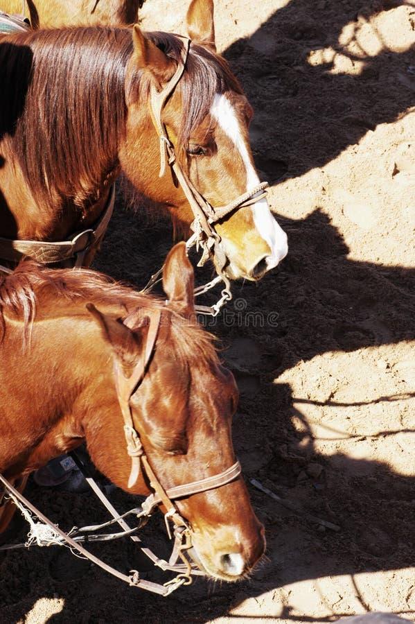roping лошадей стоковые фото