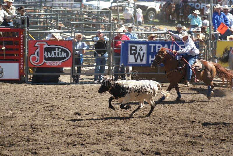 Roping da equipe dos cowboys. fotografia de stock royalty free