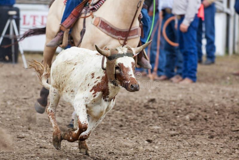 Roping da vitela fotos de stock royalty free