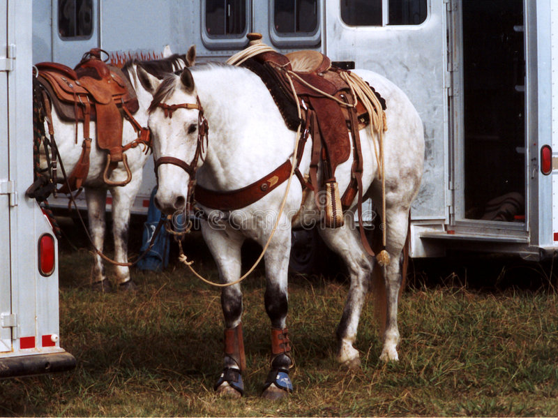 Roping Horses royalty free stock images