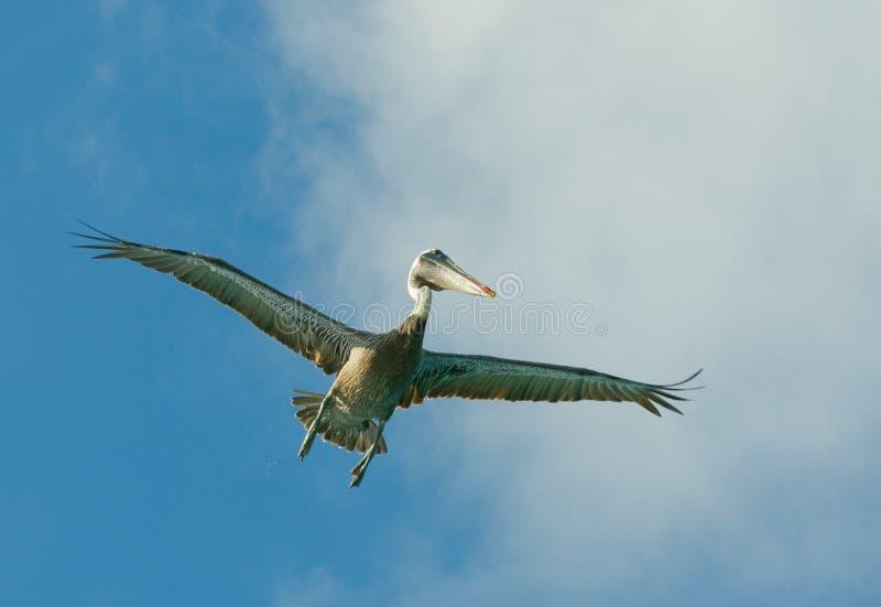 roques venezuela för pelikan för flygölos arkivfoton