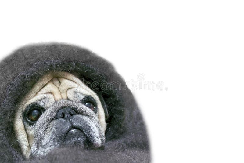 Roquet avec un regard triste, enveloppé dans un châle D'isolement sur le fond blanc Copiez l'espace Couverture de châle de chien  images stock