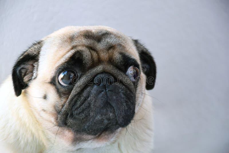 Roquet doux et triste de roquet de chien avec de grands yeux tristes et regard interrogatif photos stock
