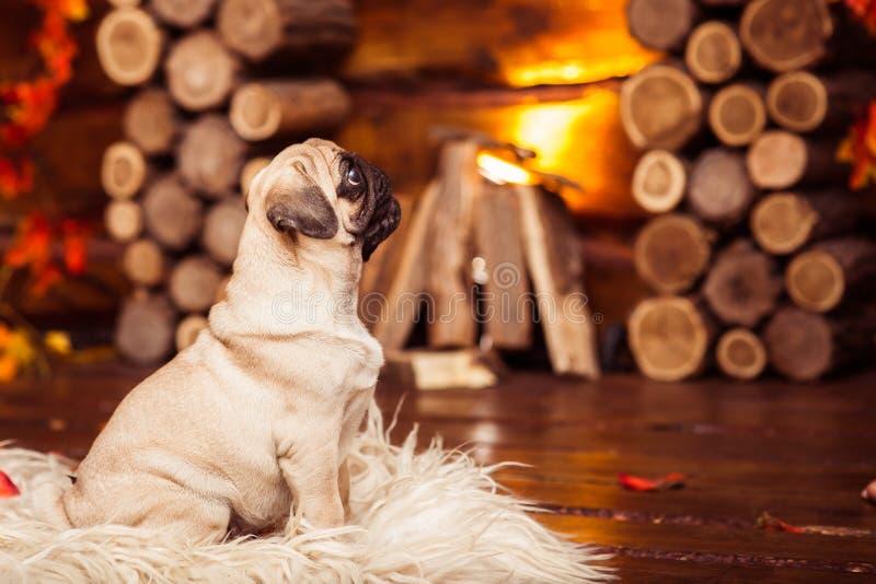Roquet espiègle de chiot et x28 ; 4 month& x29 ; se reposer sur les fourrures à la cheminée photo libre de droits