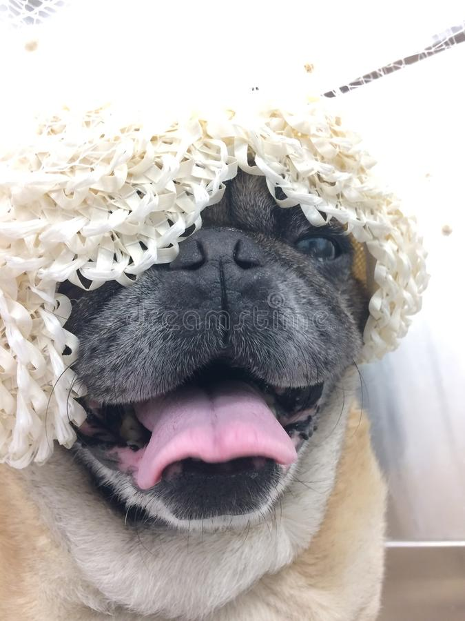Roquet portant un chien heureux de chapeau de robe de vintage dans la langue de halètement d'habillement de voile photographie stock