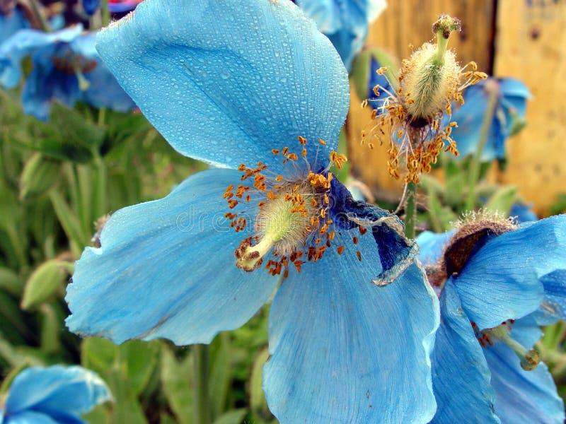 Rosée bleue de fleur image stock