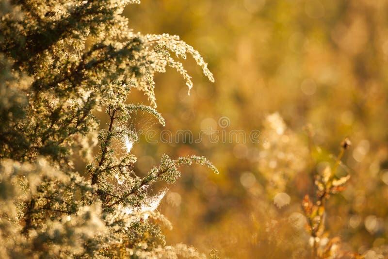 Rosée de matin dans des branches de genévrier et la lumière du soleil chaude images libres de droits