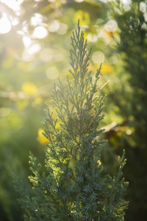 Rosée de matin sur la branche de genévrier sur le fond brouillé de lumière du soleil Orientation molle Fin vers le haut images stock