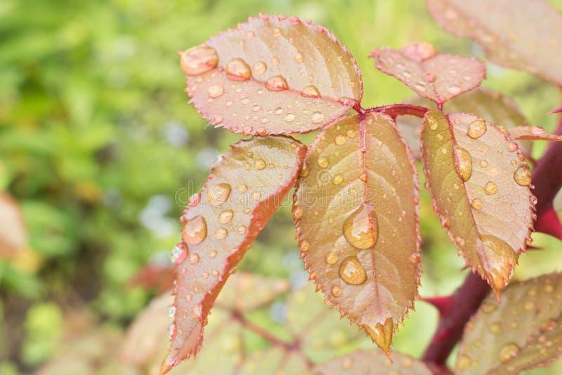Rosée de matin sur les feuilles de Bush rose photos libres de droits