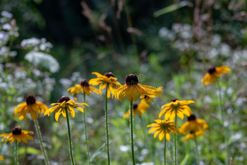 Rosée de matin sur un wildflower aux yeux noirs de susan chez Morton Arboretum dans Lisle, l'Illinois images stock
