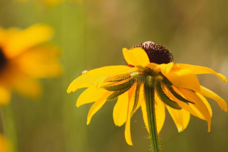 Rosée de matin sur un wildflower aux yeux noirs de susan chez Morton Arboretum dans Lisle, l'Illinois photographie stock libre de droits