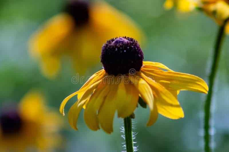 Rosée de matin sur un wildflower aux yeux noirs de susan chez Morton Arboretum dans Lisle, l'Illinois image libre de droits