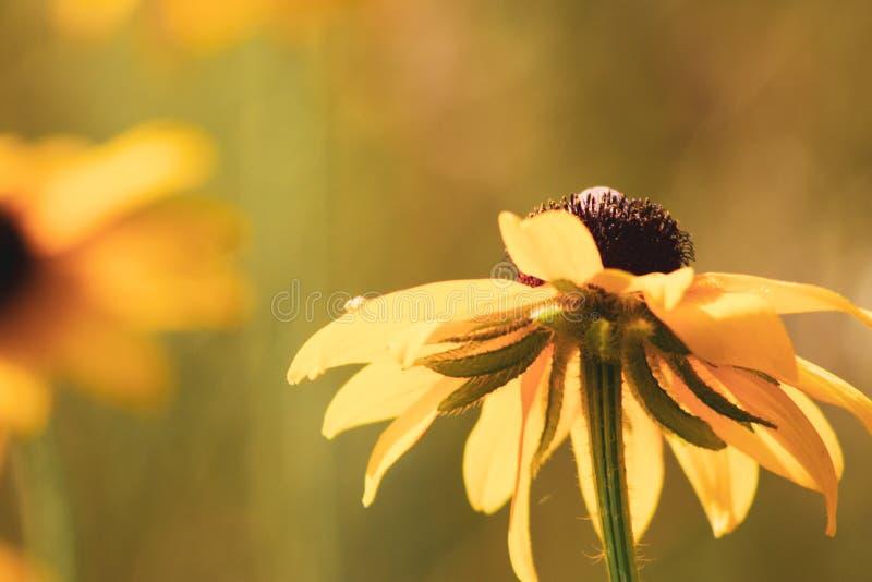 Rosée de matin sur un wildflower aux yeux noirs de susan chez Morton Arboretum dans Lisle, l'Illinois photo libre de droits