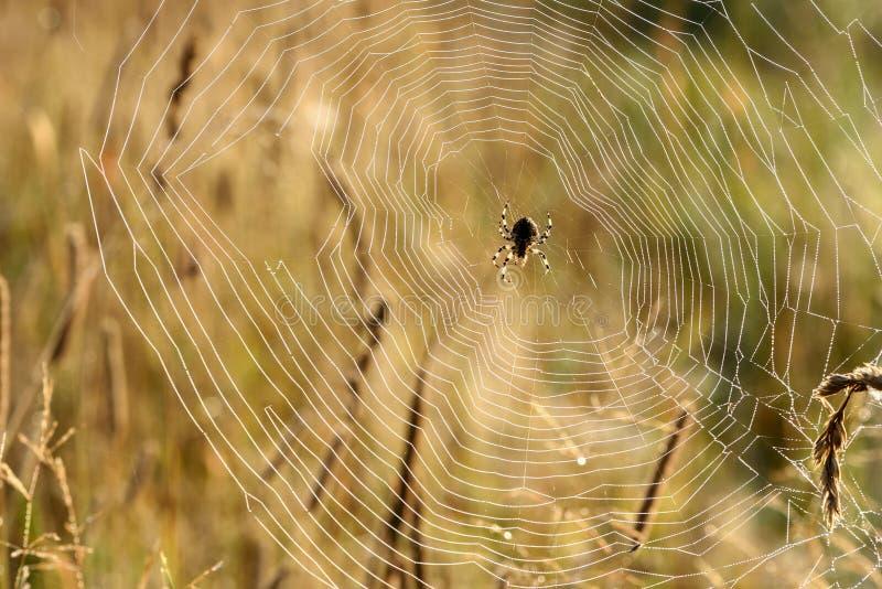 Rosée de toile d'araignée d'insecte photo libre de droits