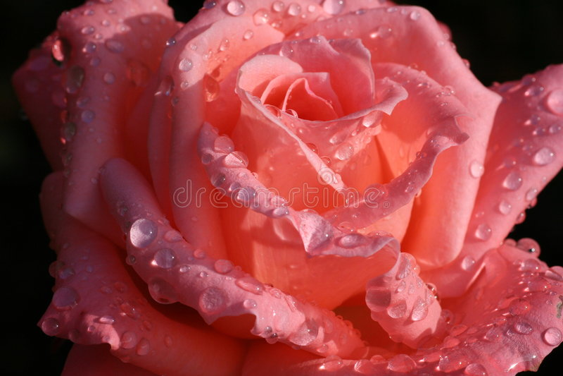 Rosée embrassée photos stock