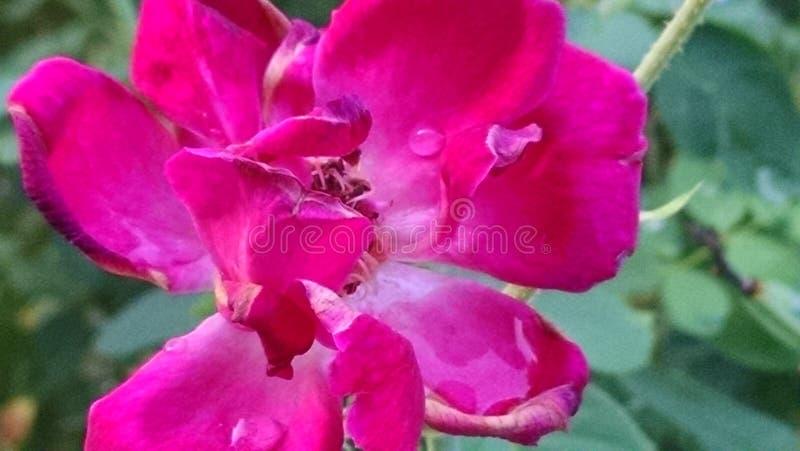 Rosée sur la fleur photos libres de droits