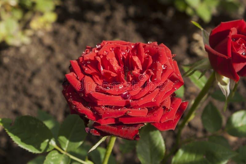 Rosée sur Rose rouge photographie stock
