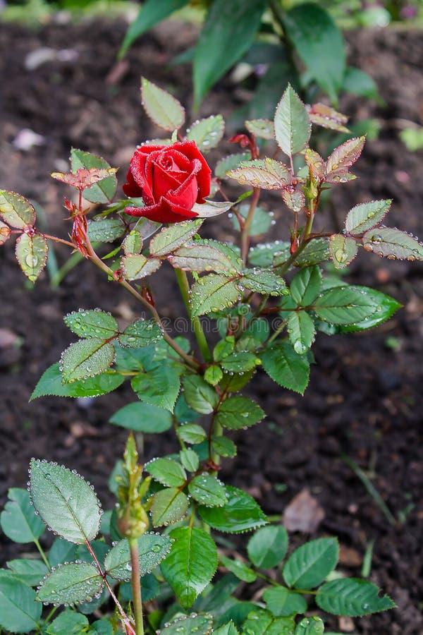 Rosée sur Rose rouge photos stock