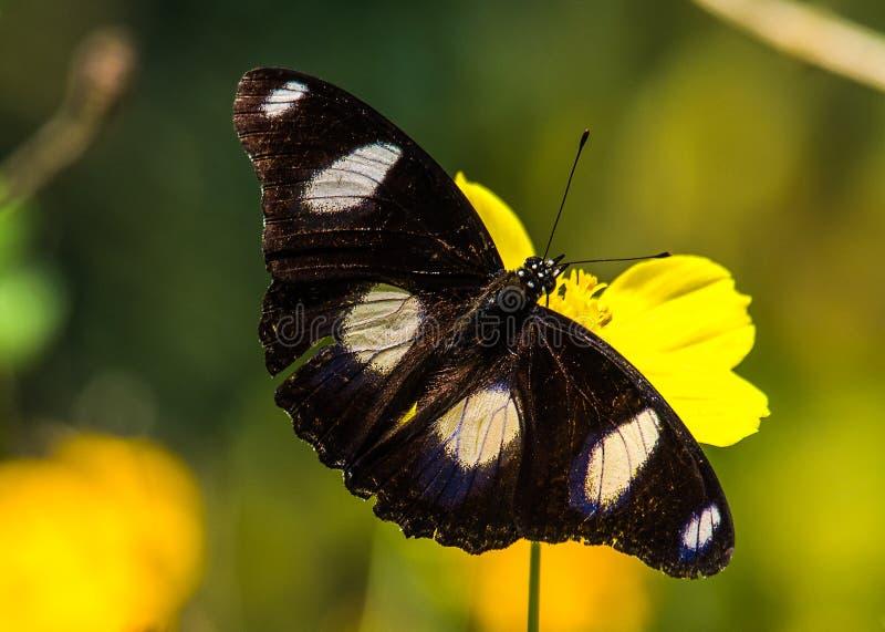 ROS carmes?, mariposa de Pachliopta Hector imagen de archivo
