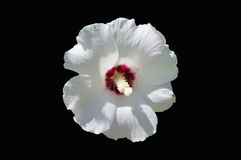Ros för hibiskussyriacusvit av blomman för ` för hjärta för Sharon ` den röda royaltyfri fotografi