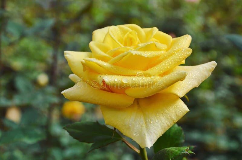 Ros för Midas-handlagguling som blommar i trädgård royaltyfri fotografi