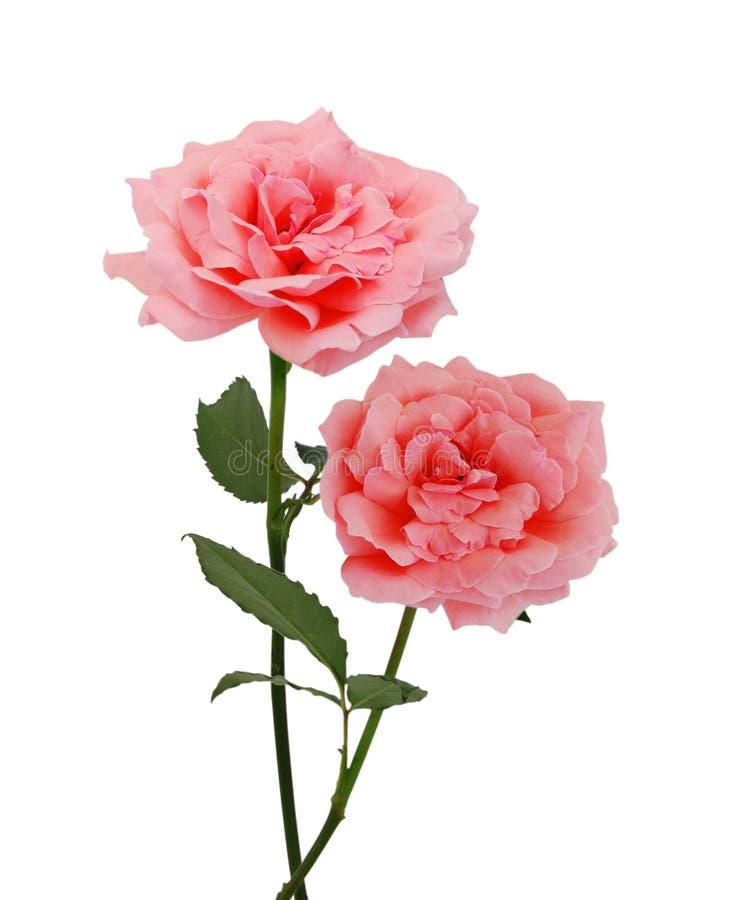 Ros för två rosa färger royaltyfria bilder