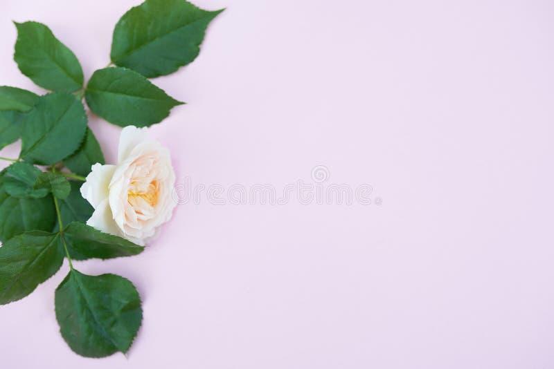 Ros på rosa bakgrund med kopieringsutrymme, gröna sidor på den pastellfärgade tabellen, valentin dag, hälsningkort royaltyfri bild