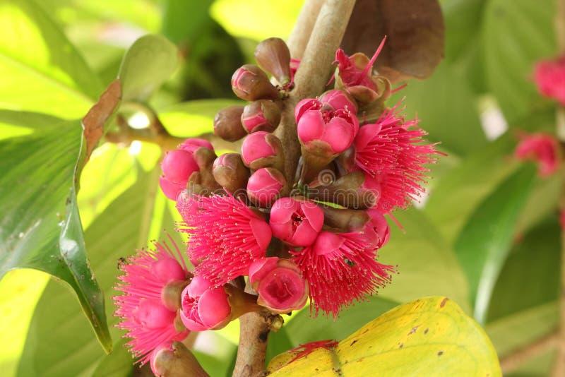 Rosa äppleblomma för Malay royaltyfria foton