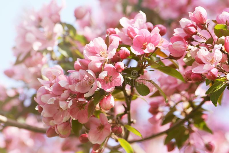 Rosa äppleblomningblommor mot en blå himmel royaltyfria bilder