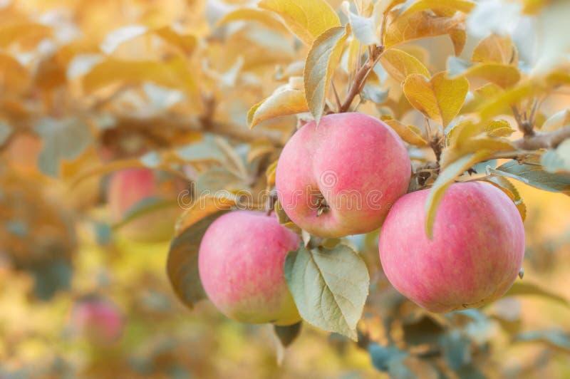 Rosa äpplen hänger på en filial i höstträdgården royaltyfria bilder